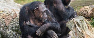 Chimpanseetje geboren in Beekse Bergen - Beide chimpansees maken het goed