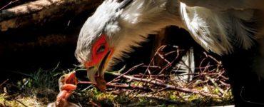 """""""Dit jong is het vierde in Europa"""", zegt dierenverzorger Robin Meijer. Normaal broedt de secretarisvogel niet zo vaak in gevangenschap, maar dit stel ouders lijkt daar geen last van te hebben."""