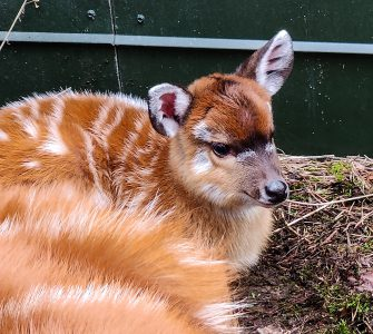 Op 15 januari viert Safaripark Beekse Bergen met de komst van een sitatoenga de eerste geboorte van het jaar.