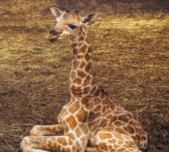 In Safaripark Beekse Bergen is een Nubische giraffe, een van de meest bedreigde giraffensoorten, geboren. Het vrouwtje is slechts het derde jong van deze soort dat in de voorbije twaalf maanden ter wereld is gekomen in ons land.